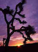 Rising Sun and Joshua Tree, Queen Valley, Joshua Tree National Park, California