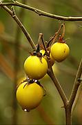 Africa, Ethiopia, The fruit of a Solanum plant