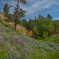 Ponderosa pines, sagebrush and cottonwood trees thrive in a coulee in the Upper Missouri River Breaks National Monument in central Montana.  This is part of the PN Ranch, recently acquired by American Prairie Reserve.