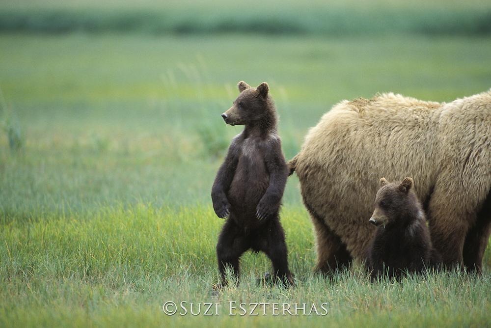Alaskan Brown Bear<br /> Ursus arctos middendorffi<br /> Sow and 4-6 month old cub(s)<br /> Katmai National Park, AK