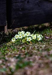 THEMENBILD - die zarten Blüten der Schlüsselblume (Primula veris) auf einer Wiese. Die Schlüsselblume ist als Heilpflanze weit verbreitet. Wirkt entkrampfend und schleimlösend und ist als Hustentee sehr geeignet, aufgenommen am 17. März 2019, Kaprun, Österreich // the delicate flowers of the primula (Primula veris) on a meadow. The primula is a widespread medicinal plant. Has an antispasmodic and expectorant effect and is very suitable as a cough tea on 2019/03/17, Kaprun, Austria. EXPA Pictures © 2019, PhotoCredit: EXPA/ Stefanie Oberhauser