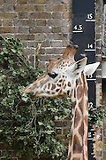 © Licensed to London News Pictures. 22/08/2012. A giraffe is measured whilst feeding. London, UK ZSL London Zoo conducts its annual weigh-in. Each of the 16,000 animals are measured and weighed. The information recorded is sent to zoos around the world. Photo credit : Stephen Simpson/LNP