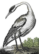 The White Crane of Japan [The red-crowned crane (Grus japonensis), also called the Manchurian crane or Japanese crane] Copperplate engraving From the Encyclopaedia Londinensis or, Universal dictionary of arts, sciences, and literature; Volume II;  Edited by Wilkes, John. Published in London in 1810