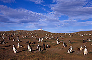 Penguin (Magellan) sanctuary on Margarita Island, Chile.