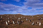 Penguin (Magellan) sanctuary on Margarita Island, Chile.