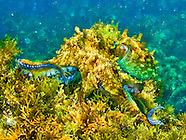 Before My Eyes ... An Octopus Transitions to Algae