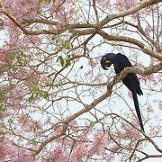 Hyacinth Macaw, Endangered Species. In flowering pink trumpet tree.  Pantanal. Brazil.
