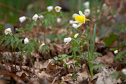 Wild daffodils growing in a woodland with wood anemones. Narcissus pseudonarcissus with Anemone nemorosa