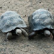 juvenile Giant Tortoises (Geochelone elephantopus) pair walking together inside the Isabela breeding center. Galapagos, Ecuador.