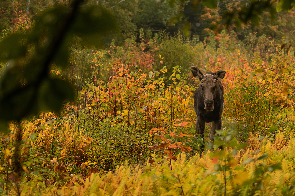 A moose in the Norhern tier of New Hampshire's White Mountains.