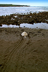 green sea turtle, Chelonia mydas, leaving turtle tracks, Punallu`u Black Sand Beach, Big Island, Hawaii, Pacific Ocean