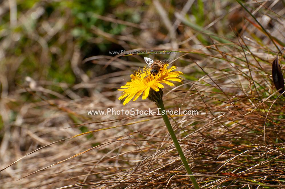 Bee on an Aposeris foetida, Alpine yellow wildflower from the daisy family. Photographed on Elfer Mountain, Stubai Valley, Tyrol, Austria in September