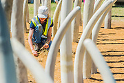 Not For Sale garden by Mark Whyte and Sharmayne Ferguson, to highlight the illegal ivory trade - Preparations for the Hampton Court Flower Show, organised by teh Royal Horticultural Society (RHS). In the grounds of the Hampton Court Palace, London.