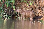 Capybara (Hydrochoeris hydrochaeris) on the banks of Cuiaba River, Pantanal, Brazil.