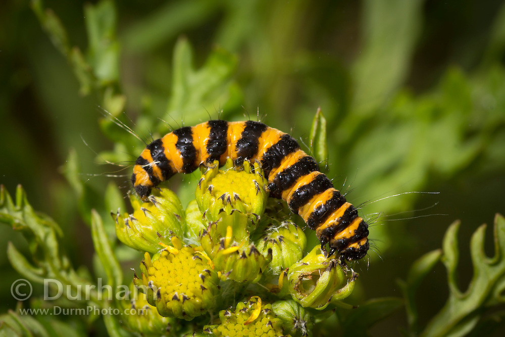 Cinnabar moth (Tyria jacobaeae) caterpillar on Tansy ragwort (Senecio jacobaea) at Cascade Head Preserve on the Oregon Coast. The cinnabar moth was first introduced into Oregon in 1960 to contraol non-native, invasive, tansy ragwort.  Subsequent research has shown that the cinnabar moth can reduce ragwort populations by 50-75% on sites favorable for their survivorship (Isaacson and Ehrensing 1977).  Adult cinnabar moths begin to emerge in late spring/early summer.  Mating commences quickly, and females lay their eggs on the underside of ragwort leaves.  Larva hatch in about two weeks and begin feeding on ragwort foliage.  By the third instar, larvae have migrated to the top of the plant to feed on the buds and flowers. With a good population of larvae, plants are stripped of flowers, buds and leaves.