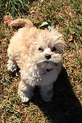 This is Abby, a Cavapoo puppy (Cavalier King Charles Spaniel crossed with a Toy Poodle)