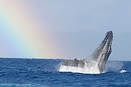 Humpback Whale breaching with a Rainbow background<br />