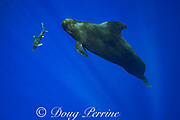 an oceanic whitetip shark, Carcharhinus longimanus, swims past a short-finned pilot whale, Globicephala macrorhynchus, north Kona Coast, Hawaii, U.S.A. ( Central Pacific Ocean )