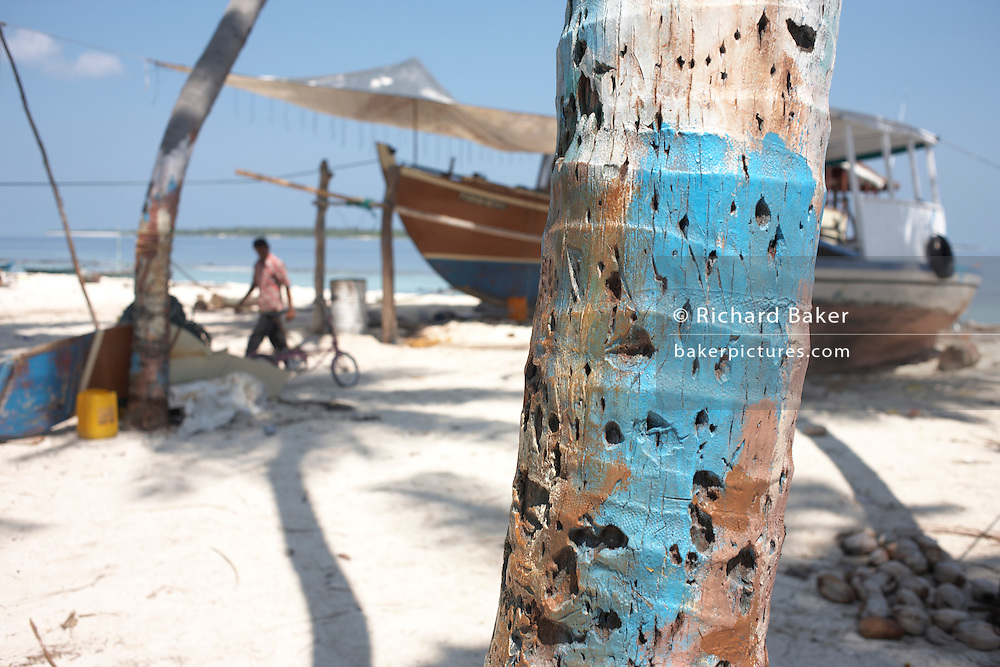 A fisherman walks on a white coral sand beach past a palm tree trunk and dhoni fishing boat being repaired on Meedu Island