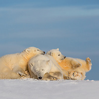 A mother  polar bear and her 2 cubs of the year rest along the shore of arctic Alaska.  Kaktovik, Barter Island.