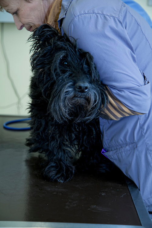 Veterinarian assistant putting a Scottish Terrier (also known as the Aberdeen Terrier) on the clinic table.