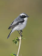 Grey Bushchat - Saxicola ferreus A well-marked chat whose range extends across southern Asia.
