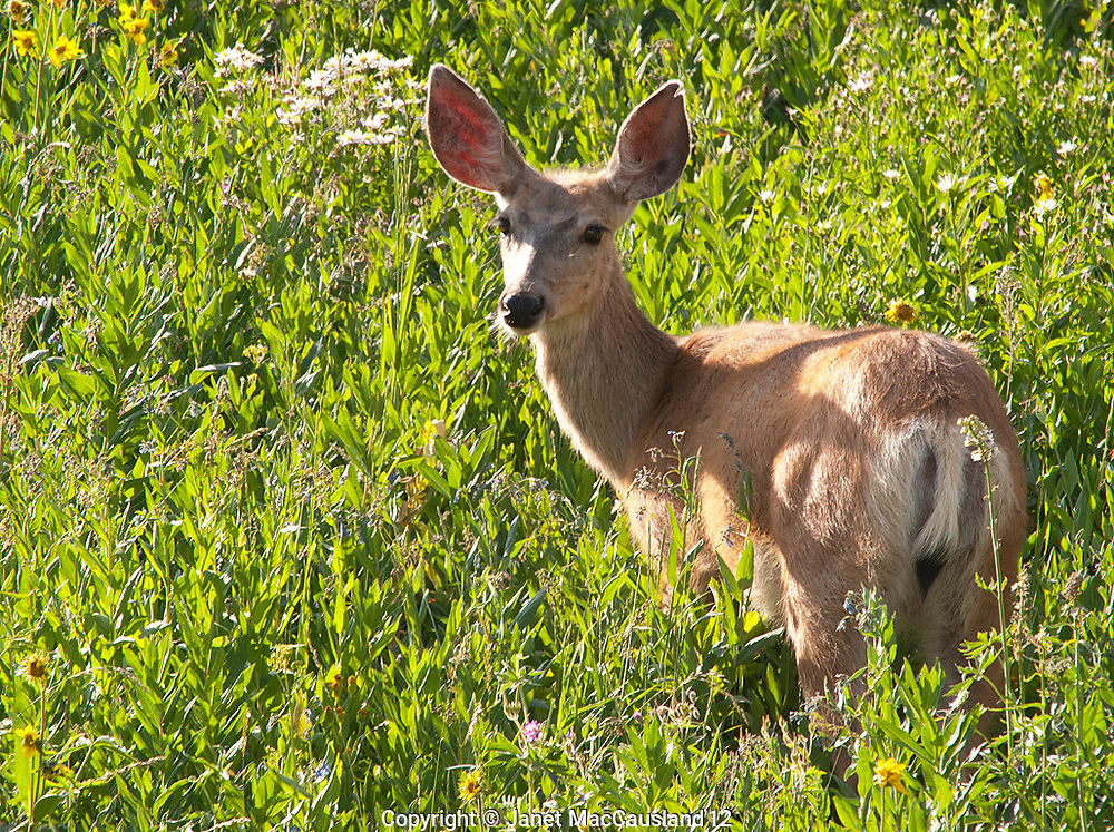 A lone mule deer (Odocoileus hemionus) in Yellowstone National park, looks back at me for a quick picture before running off.