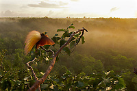 Greater Bird-of-Paradise (Paradisaea apoda)<br />