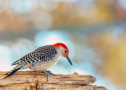 A Red-Bellied Woodpecker On A Bare Tree Branch Looking FOr A Meal