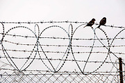 Greece . Idomeni. Birds on the razor wire, some of it in shape of love hearts, which marks the border between Greece and Macedonia.