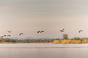 Egyptian geese flying over lower Zambezi River in Mana Pools National Park, Zambia