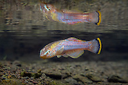 Northern Studfish<br /> <br /> Isaac Szabo/Engbretson Underwater Photography