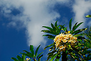 Cluster of Frangipani flowers against sunny sky. Sanur, Bali, Indonesia.
