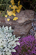"""drought tolerant plantings along the hillside garden and pathway include Thyms coccineus """"red creeping thyme,"""" Achillea """"moonshine"""" yarrow and Stachys byantia helen von stein. """"Lamb's ears"""""""