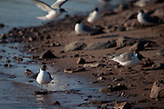 Xema sabini, Sabine's Gull, near Humbolt Glacier, Kane Basin, North West Greenland