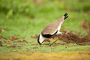 Spur-winged plover (or lapwing, Vanellus spinosus). This bird inhabits wetlands and coastal areas in northern Africa and the eastern Mediterranean region. It feeds on small invertebrates. Photographed in Israel, September