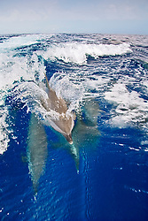 Pantropical Spotted Dolphins, Stenella attenuata, riding boat wakes, off Kona Coast, Big Island, Hawaii, Pacific Ocean