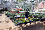 Display tables pots of pansies and violas in large greenhouse, The Walled garden centre,  Benhall, Suffolk, England