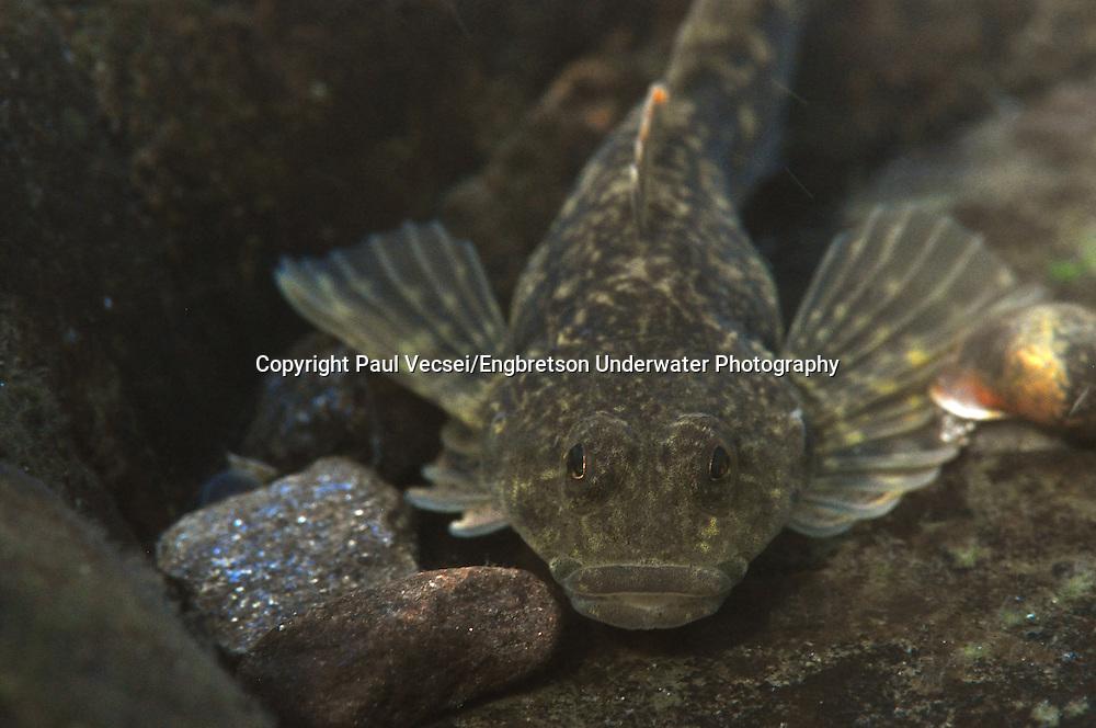 Slimy Sculpin<br /> <br /> Paul Vecsei/Engbretson Underwater Photography