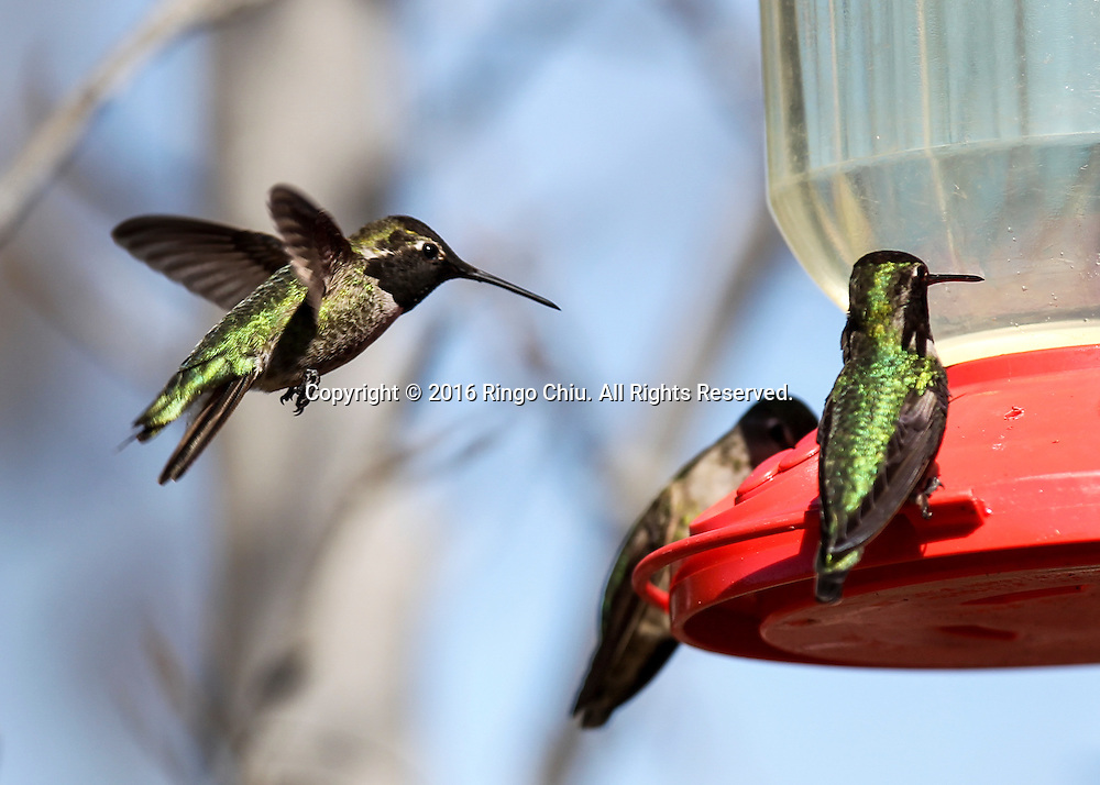 Hummingbirds drink water from a feeder at the Hummingbird Garden in Kenneth Hahn State Recreation Area in Los Angees on Tuesday, Feb. 2, 2016. (Photo by Ringo Chiu/PHOTOFORMULA.com)<br /> <br /> Usage Notes: This content is intended for editorial use only. For other uses, additional clearances may be required.