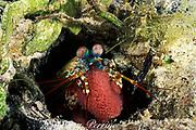 mantis shrimp, Odontodactylus scyllarus, carrying egg mass, Mabul Island, off Borneo, Sabah, Malaysia ( Celebes Sea )