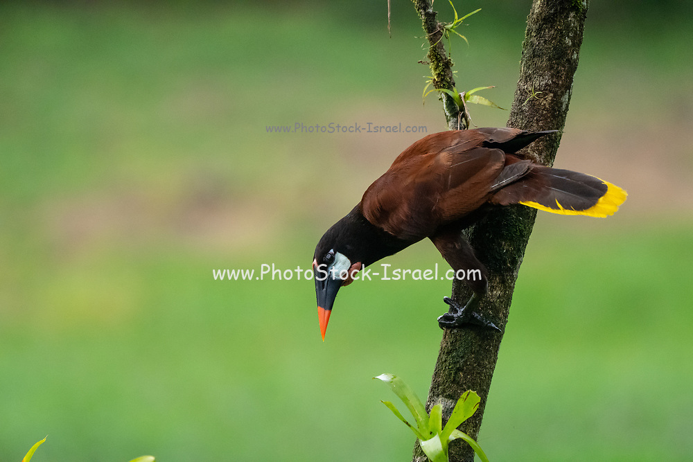 Montezuma oropendola. Male Montezuma oropendola (Psarocolius montezuma) in a tree. The Montezuma oropendola is a resident breeder in the Caribbean coastal lowlands from southeastern Mexico to central Panama, and is also found on the Pacific slope of Nicaragua and Honduras and northwestern Costa Rica. Photographed in Costa Rica