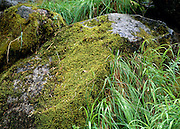Moss covers an old weathered rock resting in the shade of Yosemites meadows.