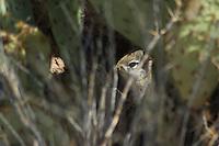 Desert cottontail, Sylvilagus audubonii. Saguaro National Park, Arizona