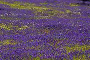 Wild flower meadow, Andalusia, Andalucia, blue, purple flowers, Cork Oak Trees