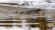 White-throated dipper (Cinclus cinclus) feeding in a ice-cold river. Photo from south-western Norway in Februar.