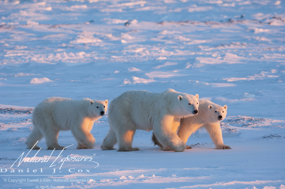 Polar bear (Ursus maritimus) mother and her two cubs walking on the snow pack during sunset. Manitoba, Canada