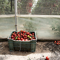One of the main region where tomatoes come from is Sicily, in the South of Italy. The countryside around Vittoria, a town in the province of Ragusa, is one of the main areas for cherry tomato production in Italy. Up to 5,000 Romanian women work there as tomato pickers.