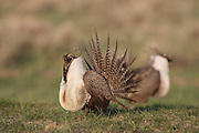 Sage Grouse male on lek in Wyoming