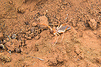 "Wind scorpions get their name because they are ""fast like the wind"". While related to scorpions, they fit into their own category or arachnids which also includes spiders. These highly aggressive solitary predators live in very dry, arid habitats where they hunt at night by actively zigzagging across across the ground or sand until they encounter and overpower an unfortunate insect, spider, scorpion or even the occasional lizard. Once pinned down with the two large front legs (pedipalps), the wind scorpion doesn't even wait to kill its prey. It will immediately start tearing into its meal with the two dark pincers near the mouth (they look like fangs) and devour it as quickly as possible, before the wind scorpion might in turn become the prey of some even larger predator. This one was stalked/chased and photographed in rural Cibola County, New Mexico, about 70 miles west of Albuquerque."